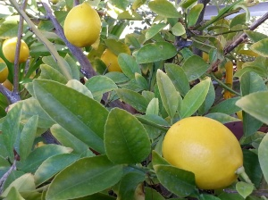 Mom's.Lemon.Tree